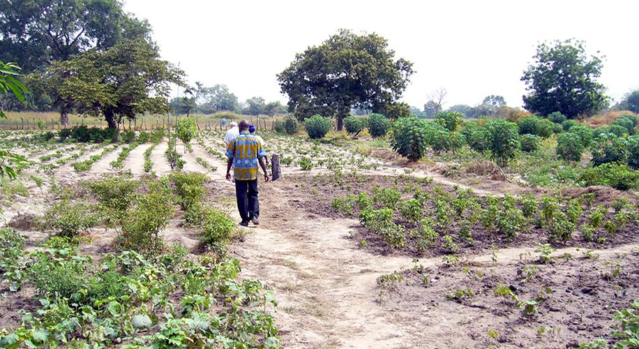 Adequació d'una zona de cultiu als afores del poble de Bantandicori